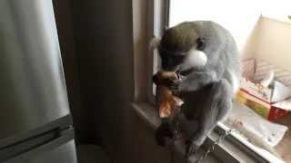 Funny monkey eating onion