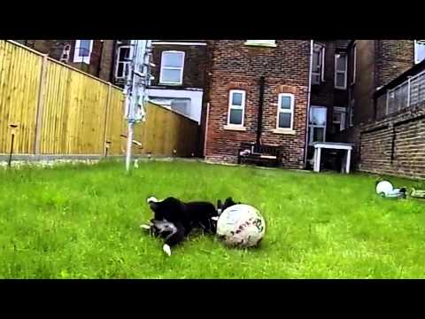 Border Collie puppy forgets how to dog