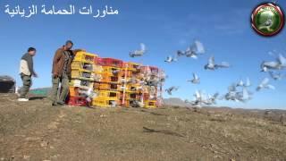 preview picture of video 'مناورات الحمامة الزيانية Entrainemment de pigeon voyageur maroc - khenifra (AZPC)'