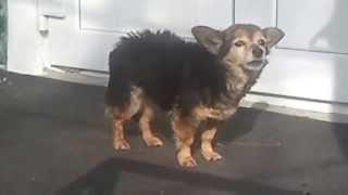 Очень злая собака, лает очень злобно)