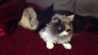 Black Cat Licks Pretty Cat Sister - Xena & Zulu: Funny Cats Video Superstars