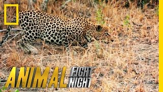It's a Leopard Stakeout | Animal Fight Night