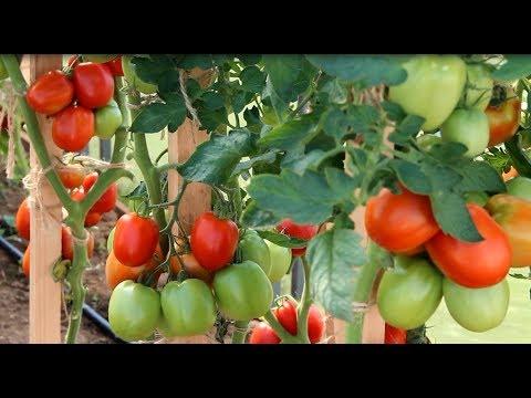 Томат Великосветский. Потрясающий Урожай. В Гостях у Агрофирмы Партнер.