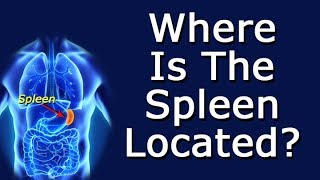 Where Is The Spleen Located?