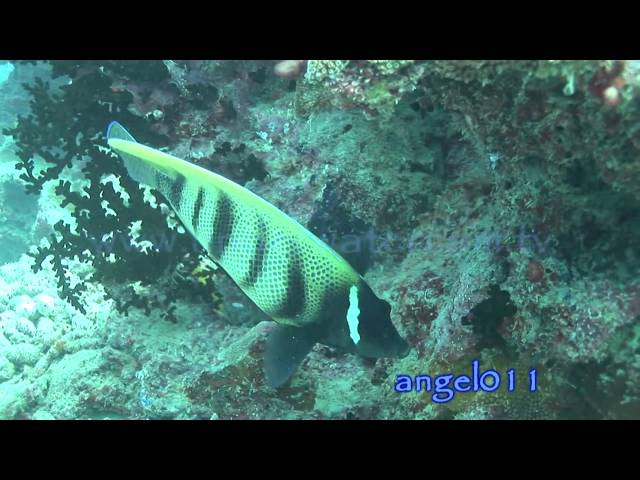 Royalty free HD stock footage of tropical fish Vol.1