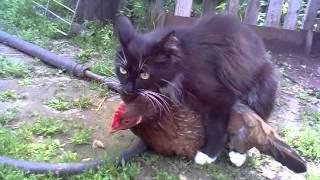 кот на курице