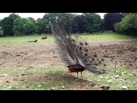 طائر  الطاووس