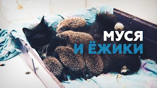 Смотреть онлайн Кошка воспитывает 8 ежиков