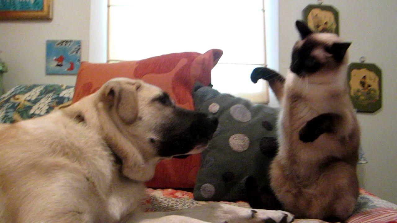 Кто же победит? Сиамский кот боксирует с собакой фото