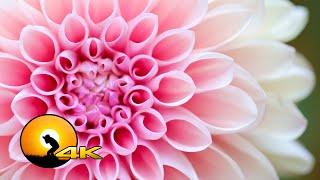 Download 4K VIDEO ULTRAHD COLOURFUL FLOWERS - 4K UHD TV