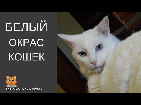 Белый окрас кошек