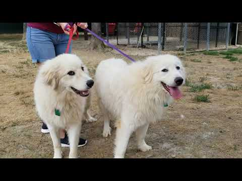 Zippy and Miriam, an adopted Great Pyrenees in Indian Trail, NC