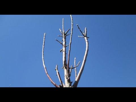 Обрезка колоновидной яблони весной