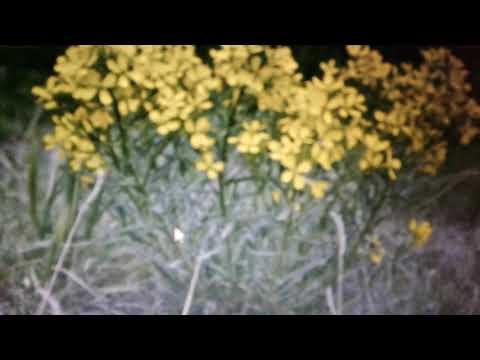 Желтушник: лечебные свойства и противопоказания.