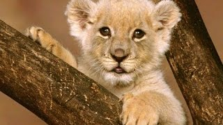 Documentary lion: Cute African Lion - Animal Film genre