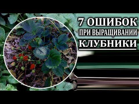 Выращивание клубники. 7 важных ошибок выращивания