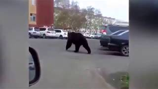 Медведь Вилючинск 2017 06 04 медведь в городе.