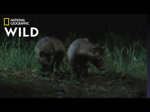 Meet the Raccoon Dogs of South Korea | Wild Korea