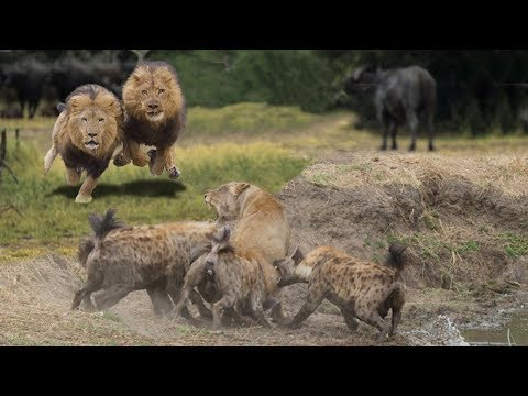 HYENAS BIG MISTAKE PROVOKED LIONESS | MALE LION AS A HERO WHO HYENAS TO SAVE LIONESS