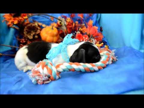Patches AKC Black White Piebald Miniature Dachshund Puppy for sale.