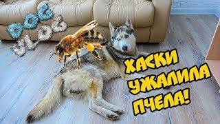 DOGVLOG: ХАСКИ УЖАЛИЛА ПЧЕЛА! БОЛЬНО! Говорящая собака