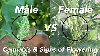 Male VS Female Cannabis Hemp and Signs of Flowering