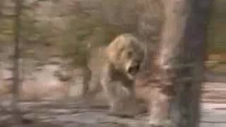 охота на льва очень опасно