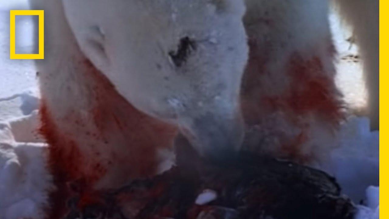 Polar Bear Attacks Ring Seal | National Geographic thumbnail