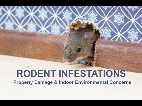 Rodent Infestation At La City Hall Causes Indoor