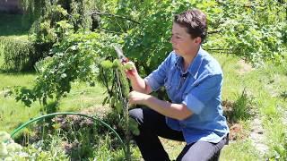 Обрезка хвойных растений