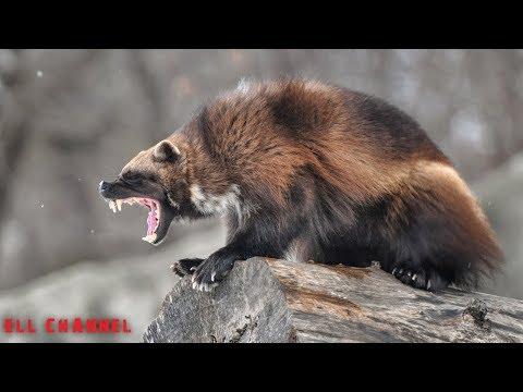 10 მტაცებელი ცხოველი მსოფლიოში (ვიდეო)