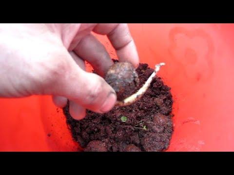 Как вырастить грецкий орех своими руками.Как прорастает грецкий орех.Как высаживать  орех в грунт.