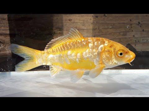 181217上物錦鯉:ドイツ黄金