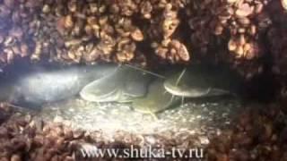 Подводные съемки на Днепре Часть 1 Судаки и сомы.