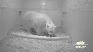Eisbär-Nachwuchs in Berlin