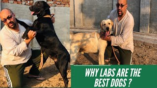 Show | Pet Quality Labrador Retrievers | Why Labs Are The Best Puppy | Dogs? Harwinder Singh Grewal
