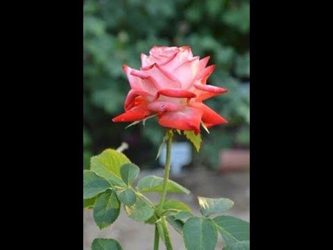 чайно-гибридная роза Императрица фарах(Impératrice Farah Rose)