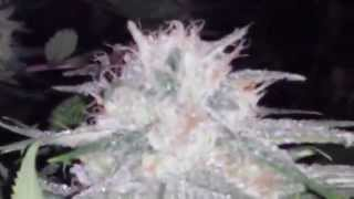 This guy grows the frostiest cannabis plants. But what's his secret?