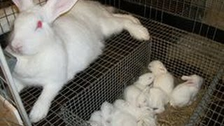 Rabbits - New Zealand And Other Meat Rabbits That Live Inside The Rabbitry
