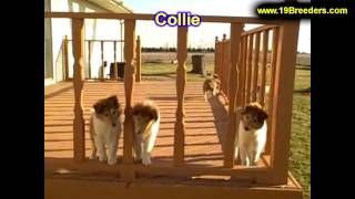 Shetland Sheepdog Puppies For Sale In Billings Montana Mt