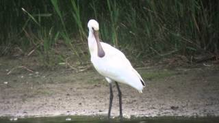 preview picture of video '11.8.14 Spatule blanche (Platalea leucorodia, Eurasian Spoonbill)'