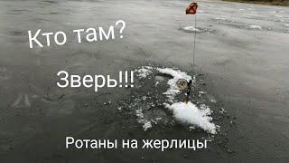 Одни звери на жерлицы по первому льду.