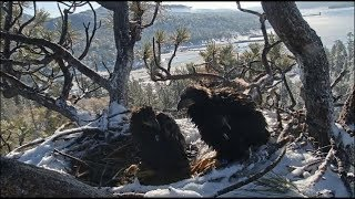 Big Bear Eagles ~ Cookie's Last Morning With Mom & Simba 5.27.19