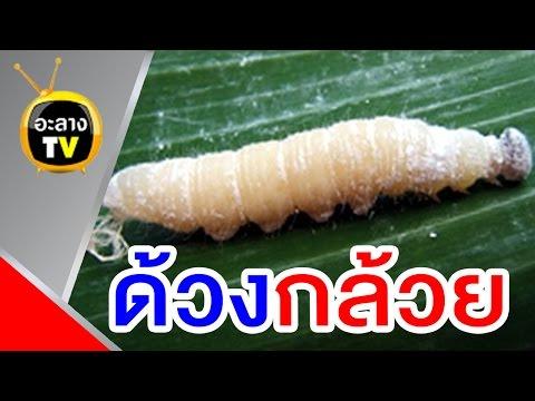 เวิร์มหรือ Pinworms รูปภาพ
