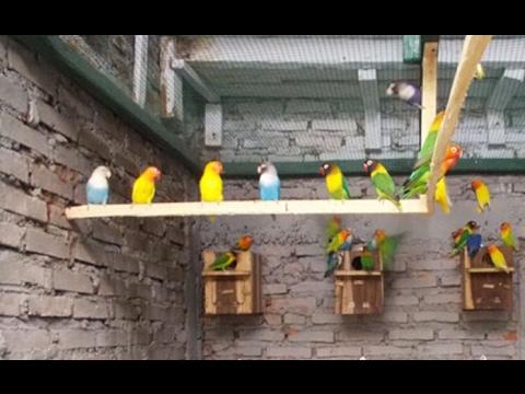 Video Cara Ternak Burung Lovebird Untuk Pemula & Sukses Besar