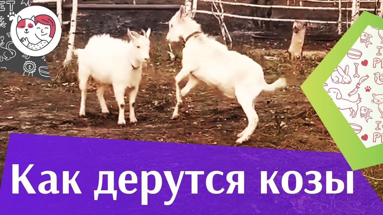 Дуэль Сметанки и Онигири