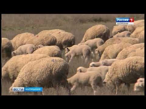 Минсельхоз Калмыкии выдает субсидии на возмещение части затрат по содержанию скота
