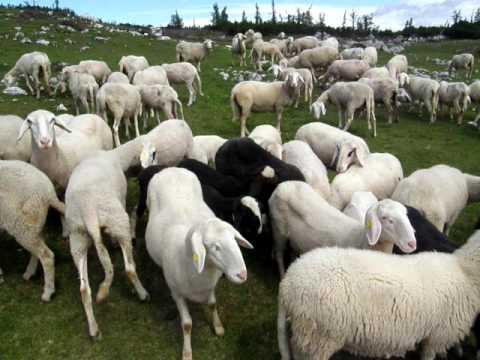Ovce pod Lanežem