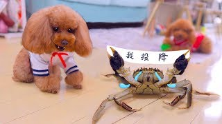 Dog fights crab, just use three moves, crab surrendered!