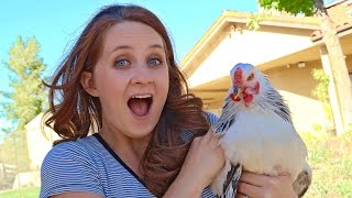 THE GREAT CHICKEN RESCUE!